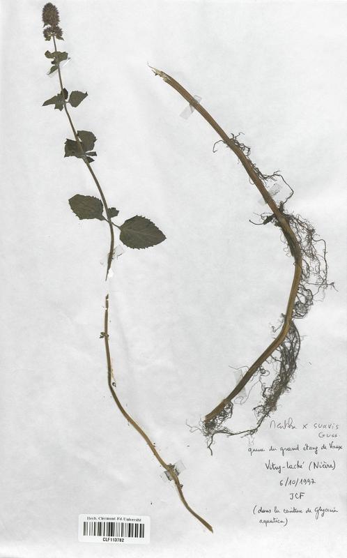 https://bibliotheque-virtuelle.bu.uca.fr/files/fichiers_bcu/Lamiaceae_Mentha_x_suavis_CLF113782.jpg