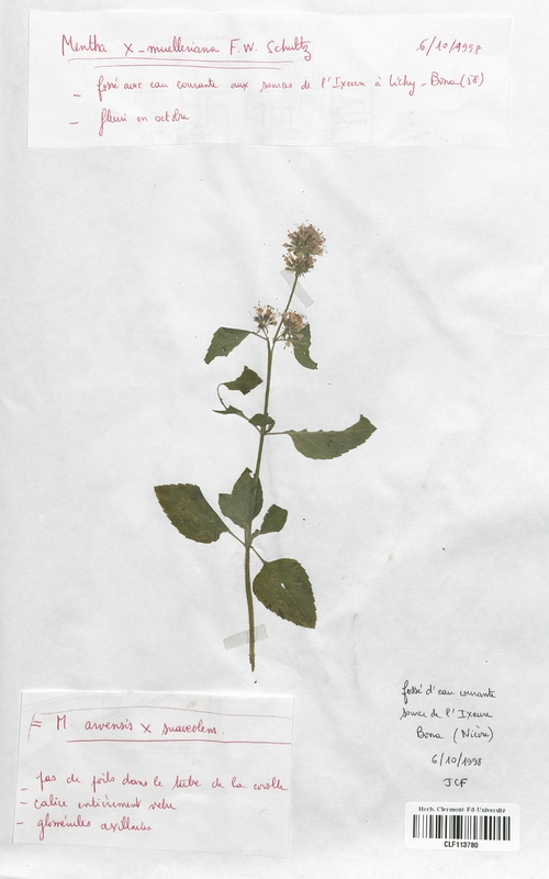 https://bibliotheque-virtuelle.bu.uca.fr/files/fichiers_bcu/Lamiaceae_Mentha_x-muelleriana_CLF113780.jpg