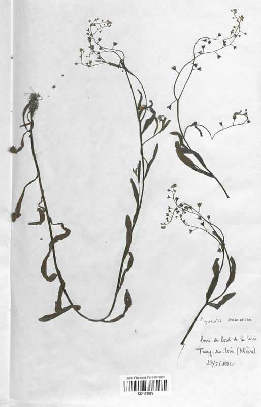 https://bibliotheque-virtuelle.bu.uca.fr/files/fichiers_bcu/Boraginaceae_Myosotis_nemorosa_CLF113835.jpg