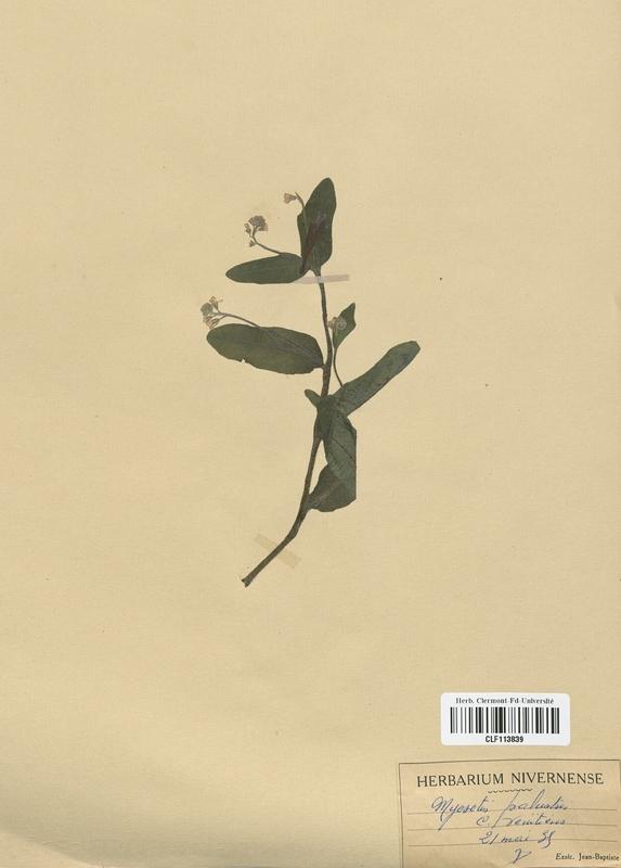 https://bibliotheque-virtuelle.bu.uca.fr/files/fichiers_bcu/Boraginaceae_Myosotis_palustris_CLF113839.jpg