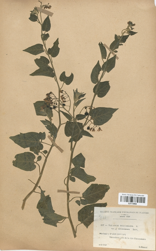 https://bibliotheque-virtuelle.bu.uca.fr/files/fichiers_bcu/Solanaceae_Solanum_dulcamara_villosissimum_CLF113862.jpg