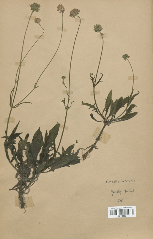 https://bibliotheque-virtuelle.bu.uca.fr/files/fichiers_bcu/Dipsacaceae_Knautia_arvensis_CLF113965.jpg