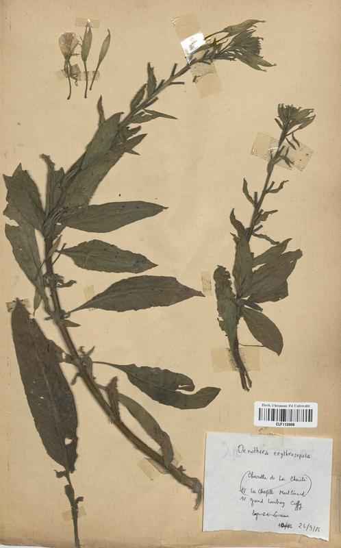 https://bibliotheque-virtuelle.bu.uca.fr/files/fichiers_bcu/Onagraceae_Oenothera_erythrosepala_CLF113906.jpg