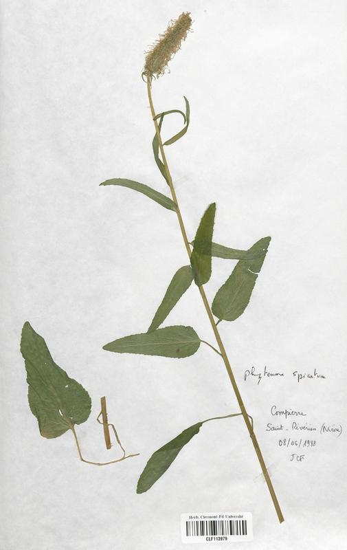 https://bibliotheque-virtuelle.bu.uca.fr/files/fichiers_bcu/Campanulaceae_Phyteuma_spicatum_CLF113979.jpg