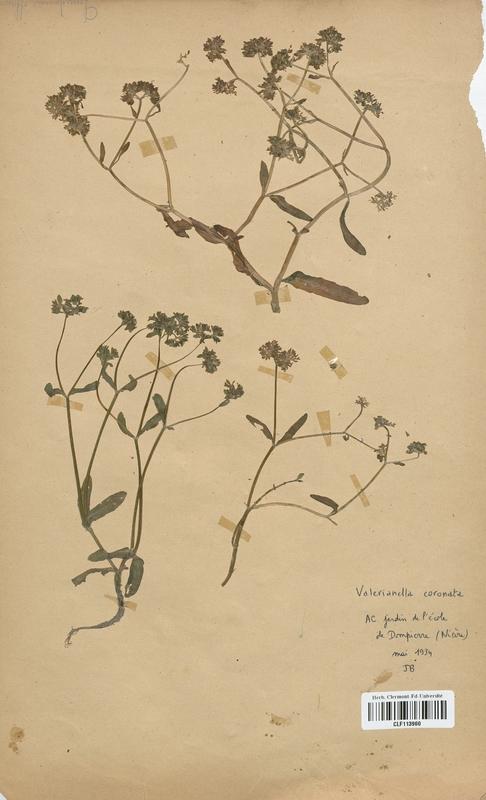 https://bibliotheque-virtuelle.bu.uca.fr/files/fichiers_bcu/Valerianaceae_Valerianella_coronata_CLF113960.jpg