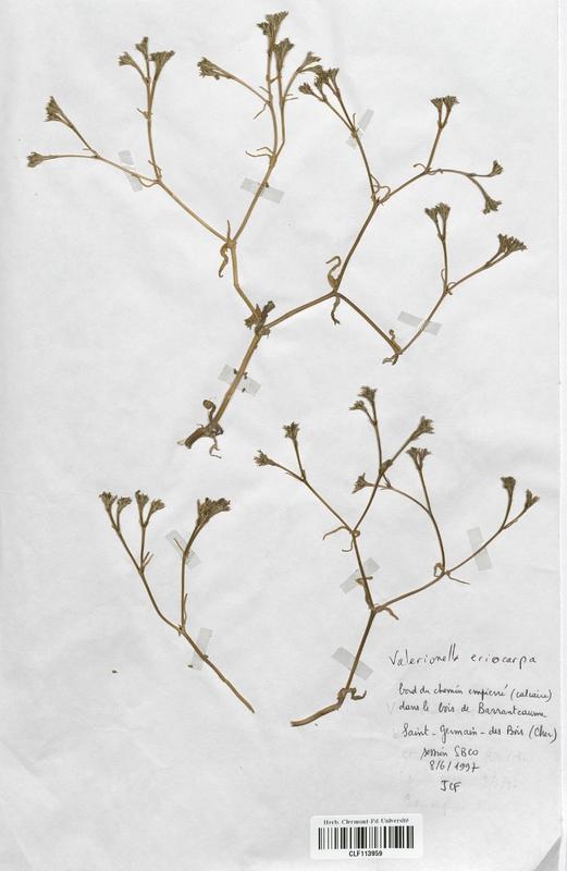 https://bibliotheque-virtuelle.bu.uca.fr/files/fichiers_bcu/Valerianaceae_Valerianella_eriocarpa_CLF113959.jpg