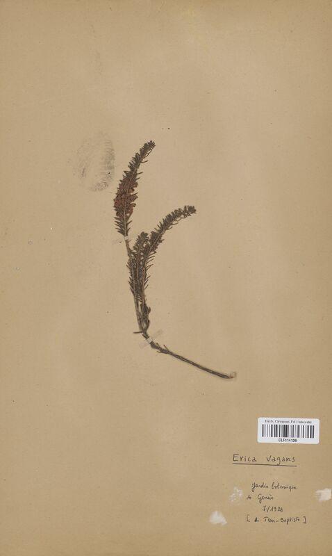 https://bibliotheque-virtuelle.bu.uca.fr/files/fichiers_bcu/Ericaceae_Erica_vagans_CLF114139.jpg