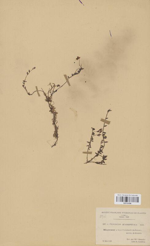 https://bibliotheque-virtuelle.bu.uca.fr/files/fichiers_bcu/Ericaceae_Oxycoccos_quadripetala_CLF114134.jpg