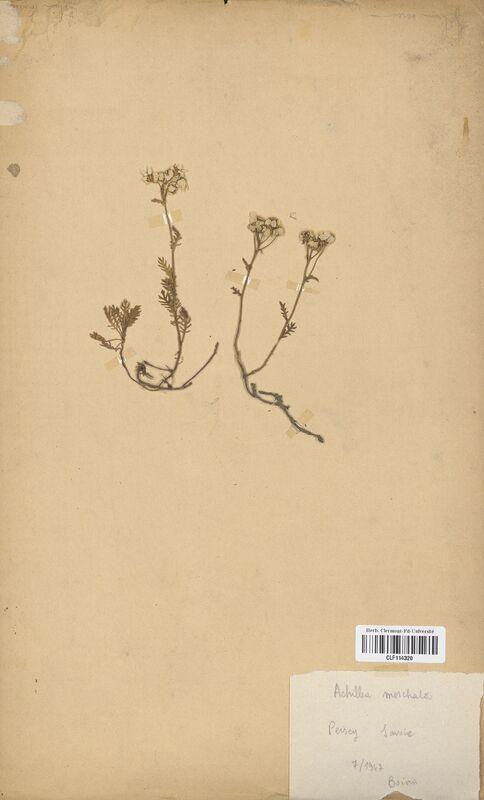 https://bibliotheque-virtuelle.bu.uca.fr/files/fichiers_bcu/Asteraceae_Achillea_moschata_CLF114320.jpg