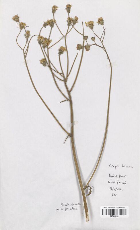 https://bibliotheque-virtuelle.bu.uca.fr/files/fichiers_bcu/Asteraceae_Crepis_biennnis_CLF114264.jpg