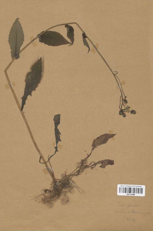 https://bibliotheque-virtuelle.bu.uca.fr/files/fichiers_bcu/Asteraceae_Crepis_paludosa_CLF114265.jpg