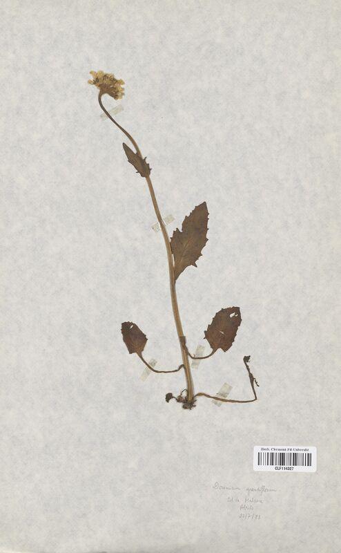 https://bibliotheque-virtuelle.bu.uca.fr/files/fichiers_bcu/Asteraceae_Doronicum_grandiflorum_CLF114327.jpg
