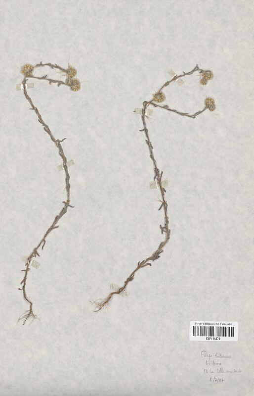 https://bibliotheque-virtuelle.bu.uca.fr/files/fichiers_bcu/Asteraceae_Filago_lutescens_CLF114379.jpg