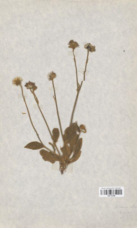 https://bibliotheque-virtuelle.bu.uca.fr/files/fichiers_bcu/Asteraceae_Hieracium_villosum_CLF114189.jpg