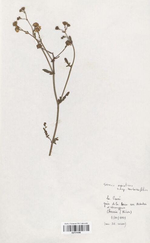https://bibliotheque-virtuelle.bu.uca.fr/files/fichiers_bcu/Asteraceae_Senecio_aquaticus_barbaraefolius_CLF114295.jpg