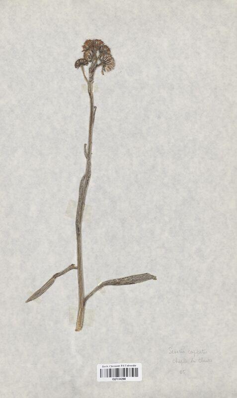 https://bibliotheque-virtuelle.bu.uca.fr/files/fichiers_bcu/Asteraceae_Senecio_capitatus_CLF114298.jpg
