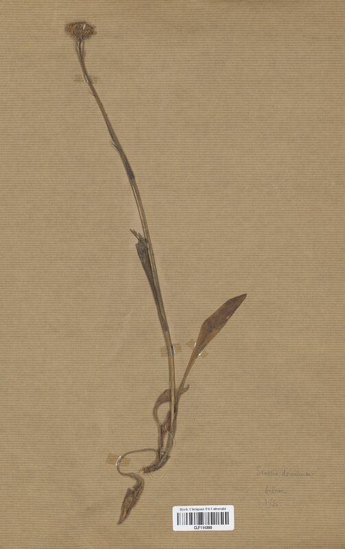 https://bibliotheque-virtuelle.bu.uca.fr/files/fichiers_bcu/Asteraceae_Senecio_doronicum_CLF114300.jpg