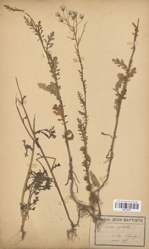 https://bibliotheque-virtuelle.bu.uca.fr/files/fichiers_bcu/Asteraceae_Senecio_sylvaticus_CLF114311.jpg