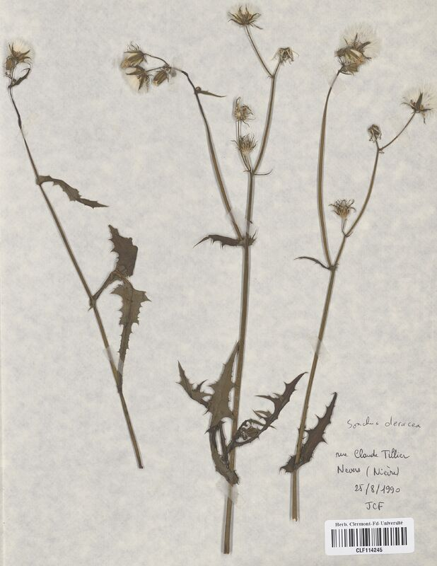 https://bibliotheque-virtuelle.bu.uca.fr/files/fichiers_bcu/Asteraceae_Sonchus_oleracea_CLF114245.jpg