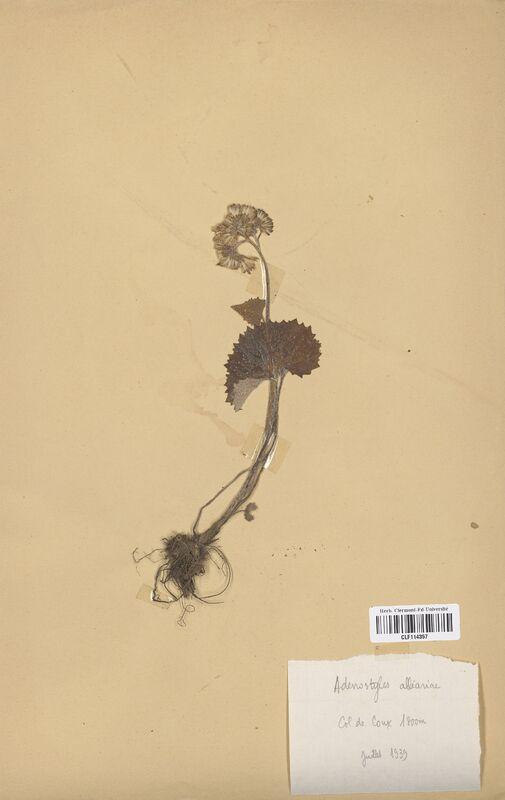 https://bibliotheque-virtuelle.bu.uca.fr/files/fichiers_bcu/Asteraceae_Adenostyla_alliaria_CLF114357.jpg