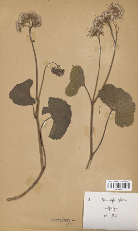 https://bibliotheque-virtuelle.bu.uca.fr/files/fichiers_bcu/Asteraceae_Adenostyles_glabra_CLF114355.jpg