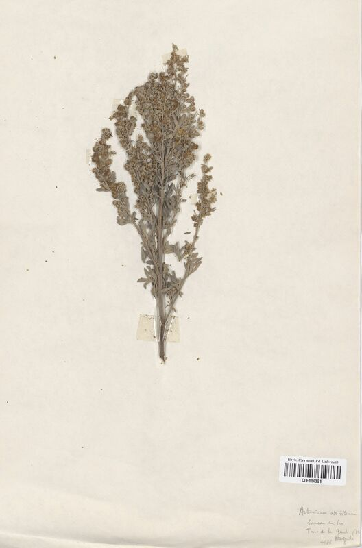 https://bibliotheque-virtuelle.bu.uca.fr/files/fichiers_bcu/Asteraceae_Artemisia_absinthium_CLF114351.jpg