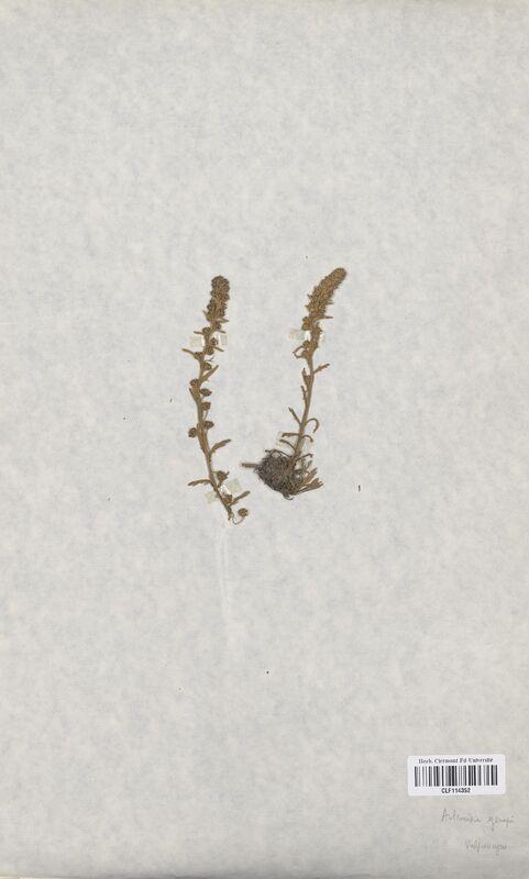 https://bibliotheque-virtuelle.bu.uca.fr/files/fichiers_bcu/Asteraceae_Artemisia_genepi_CLF114352.jpg