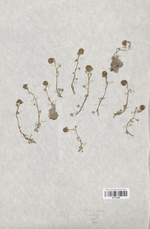 https://bibliotheque-virtuelle.bu.uca.fr/files/fichiers_bcu/Asteraceae_Artemisia_glacialis_CLF114353.jpg