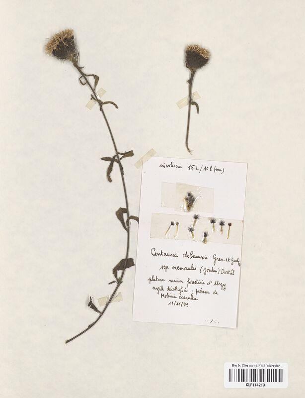 https://bibliotheque-virtuelle.bu.uca.fr/files/fichiers_bcu/Asteraceae_Centaurea_debeauxii_nemorosa_CLF114213.jpg