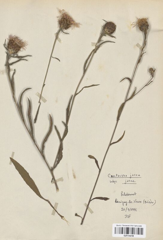 https://bibliotheque-virtuelle.bu.uca.fr/files/fichiers_bcu/Asteraceae_Centaurea_jacea_jacea_CLF114210.jpg