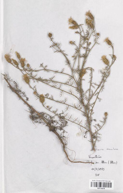 https://bibliotheque-virtuelle.bu.uca.fr/files/fichiers_bcu/Asteraceae_Centaurea_maculosa_CLF114215.jpg