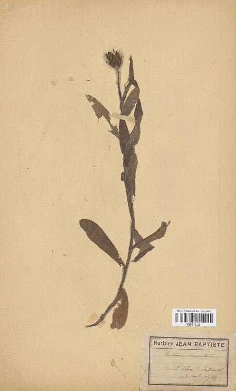 https://bibliotheque-virtuelle.bu.uca.fr/files/fichiers_bcu/Asteraceae_Centaurea_montana_CLF114225.jpg