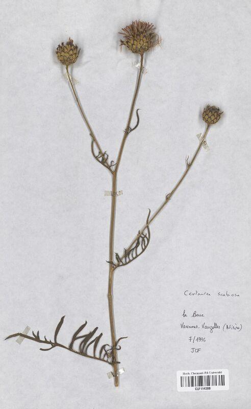 https://bibliotheque-virtuelle.bu.uca.fr/files/fichiers_bcu/Asteraceae_Centaurea_scabiosa_CLF114208.jpg
