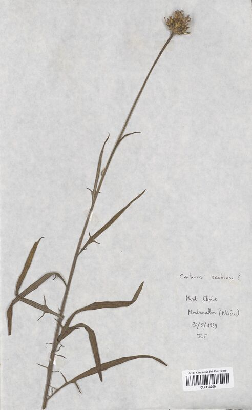 https://bibliotheque-virtuelle.bu.uca.fr/files/fichiers_bcu/Asteraceae_Centaurea_scabiosa_CLF114209.jpg