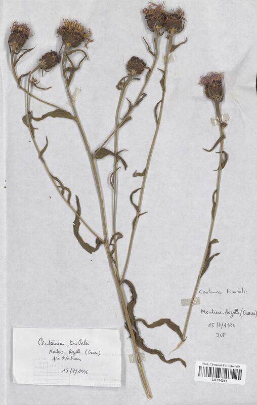 https://bibliotheque-virtuelle.bu.uca.fr/files/fichiers_bcu/Asteraceae_Centaurea_timbalii_CLF114211.jpg
