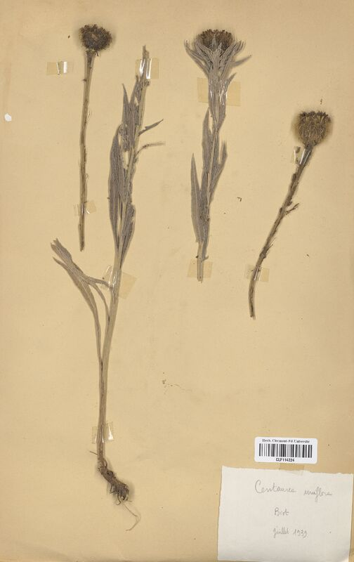 https://bibliotheque-virtuelle.bu.uca.fr/files/fichiers_bcu/Asteraceae_Centaurea_uniflora_CLF114224.jpg