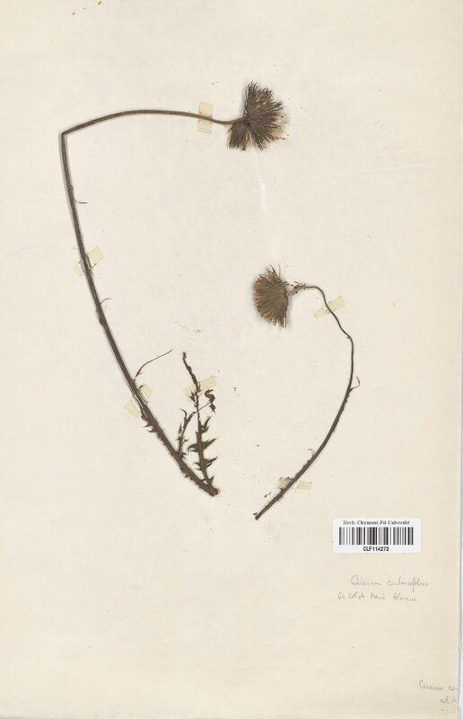 https://bibliotheque-virtuelle.bu.uca.fr/files/fichiers_bcu/Asteraceae_Cirsium_carlinifolium_CLF114273.jpg