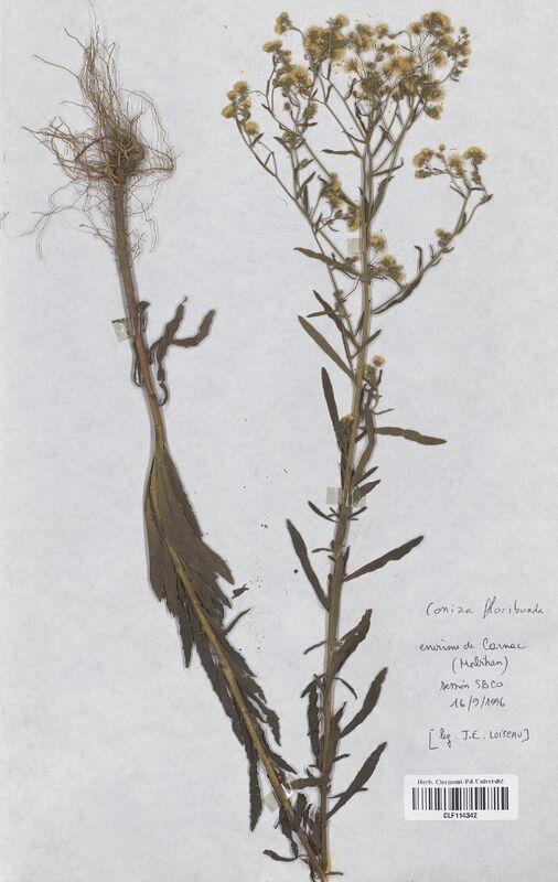 https://bibliotheque-virtuelle.bu.uca.fr/files/fichiers_bcu/Asteraceae_Conyza_floribunda_CLF114342.jpg