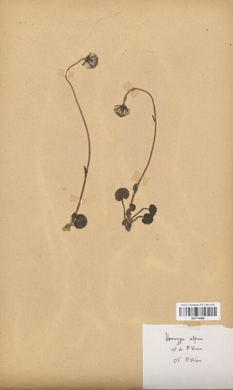 https://bibliotheque-virtuelle.bu.uca.fr/files/fichiers_bcu/Asteraceae_Homogyne_alpina_CLF114356.jpg