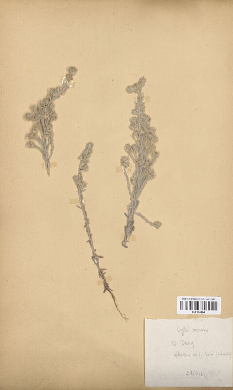 https://bibliotheque-virtuelle.bu.uca.fr/files/fichiers_bcu/Asteraceae_Logfia_arvensis_CLF114364.jpg