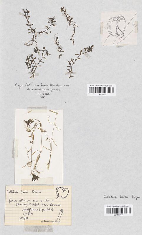 https://bibliotheque-virtuelle.bu.uca.fr/files/fichiers_bcu/Callitrichaceae_Callitriche_brutia_CLF114467.jpg