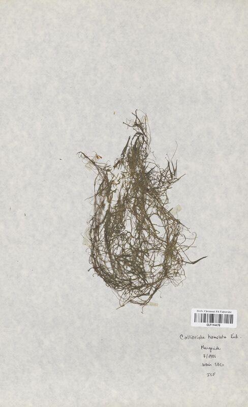https://bibliotheque-virtuelle.bu.uca.fr/files/fichiers_bcu/Callitrichaceae_Callitriche_hamulata_CLF114470.jpg
