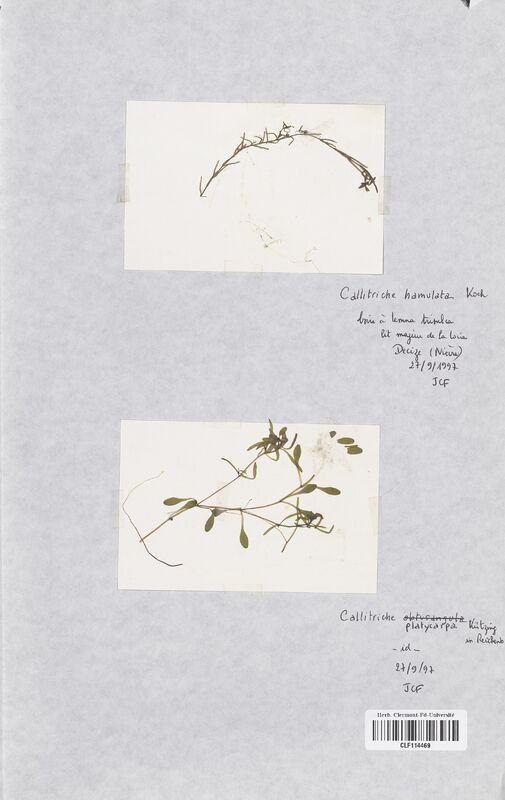 https://bibliotheque-virtuelle.bu.uca.fr/files/fichiers_bcu/Callitrichaceae_Callitriche_platycarpa_CLF114469.jpg