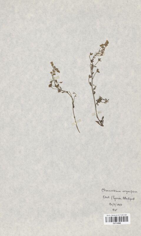 https://bibliotheque-virtuelle.bu.uca.fr/files/fichiers_bcu/Scrophulariaceae_Chaenorrhinum_origanifolium_CLF114562.jpg