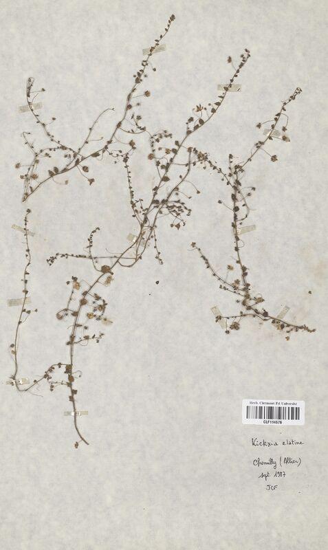 https://bibliotheque-virtuelle.bu.uca.fr/files/fichiers_bcu/Scrophulariaceae_Kickxia_elatine_CLF114576.jpg