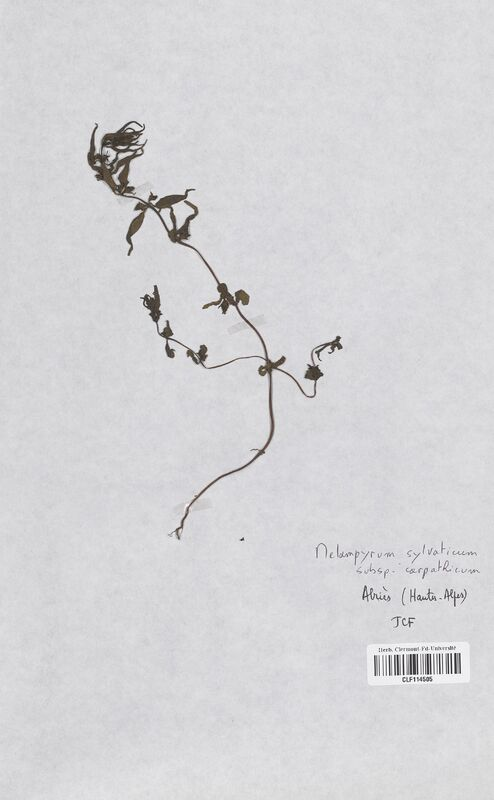 https://bibliotheque-virtuelle.bu.uca.fr/files/fichiers_bcu/Scrophulariaceae_Melampyrum_sylvaticum_CLF114505.jpg