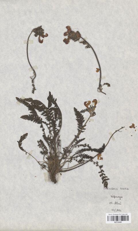https://bibliotheque-virtuelle.bu.uca.fr/files/fichiers_bcu/Scrophulariaceae_Pedicularis_cenisia_CLF114491.jpg