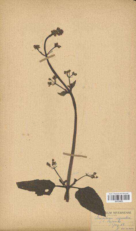 https://bibliotheque-virtuelle.bu.uca.fr/files/fichiers_bcu/Scrophulariaceae_Scrophularia_aquatica_CLF114573.jpg