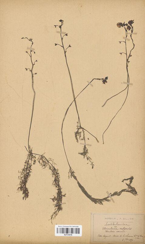 https://bibliotheque-virtuelle.bu.uca.fr/files/fichiers_bcu/Lentibulariaceae_Utricularia_neglecta_CLF114476.jpg