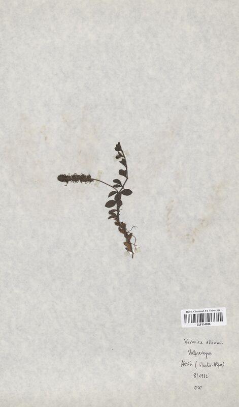 https://bibliotheque-virtuelle.bu.uca.fr/files/fichiers_bcu/Scrophulariaceae_Veronica_allioni_CLF114536.jpg